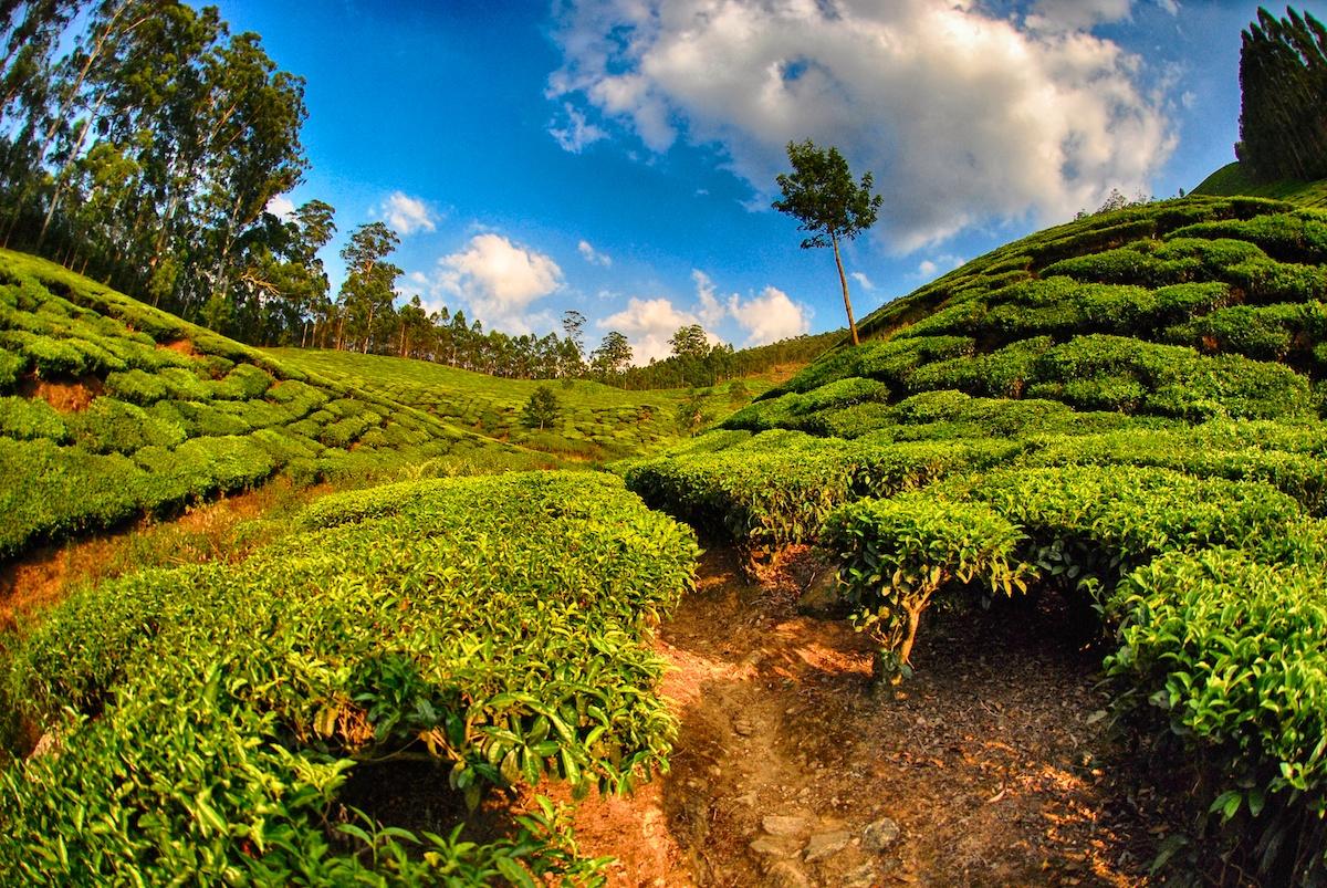 Kerala Tea Plantations - Munnar, IndiaSoma Images