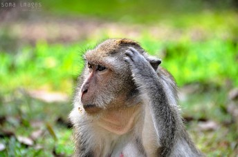 Monkey scratching it's head, Angkor Wat, Cambodia