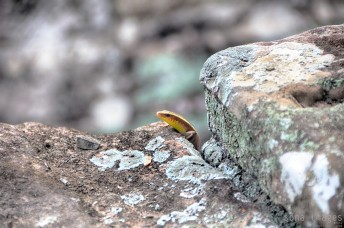 Colorful lizard, peeking over temple rocks, Angkor Wat in Cambodia